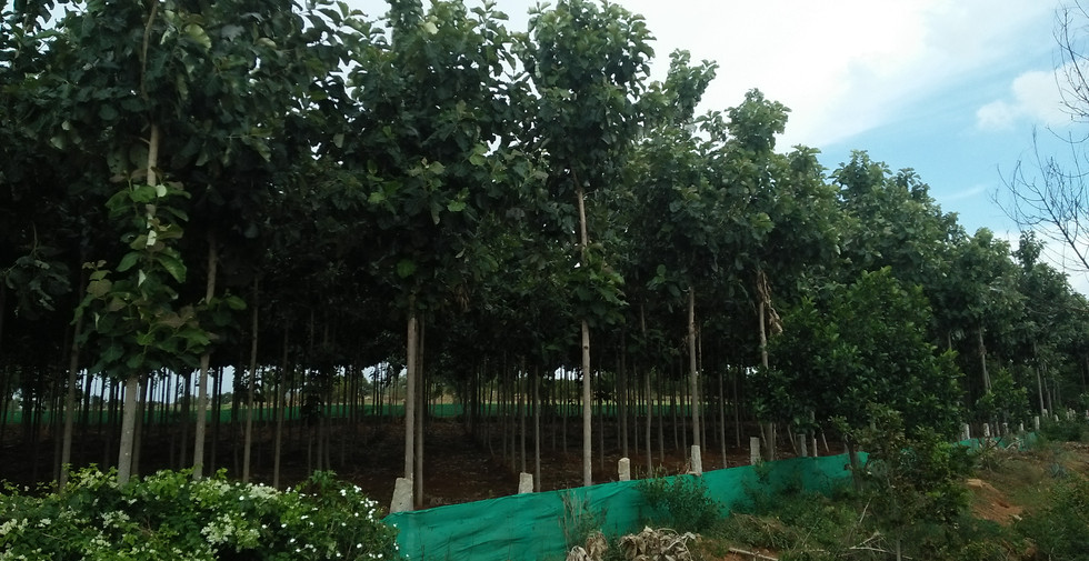 2 years 6 months tissue culture teak fro