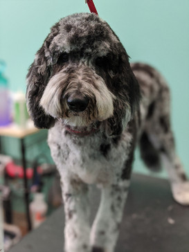 """Oreo the Doodle was a complete sweetheart and fell right to sleep on the table after this photo. She got a 5/8"""" guard comb all over with a teddy bear face in the popular doodle style."""
