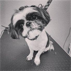 Our little Shih Tzu friend here got a #7 all over with a teddy bear head. We trimmed her ears rounded with the leather to give her a softer look.