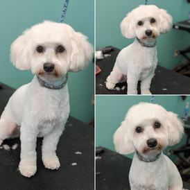 """This beauty got a 1/2"""" guard comb all over with a teddy bear head and rounded teddy bear feet. This pup knew they looked good and posed so well!"""