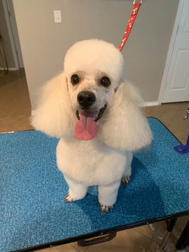Kayden is in a 5/8th in comb length, with the classic poodle clean face, clean feet, and top knot!