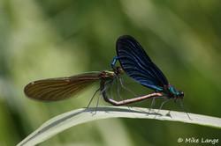 Blauflügel Prachtlibelle Paarung