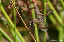 Gebänderte Heidelibelle Weibchen