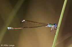 Zwerglibelle Weibchen