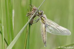 Vierfleck Weibchen