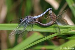 Kleiner Blaupfeil Paarung