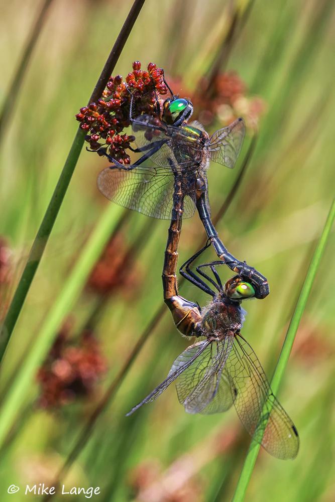 Gefleckte Smaragdlibelle Paarung