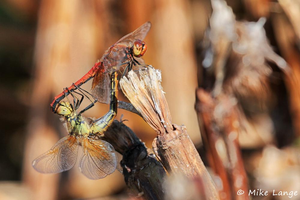 Gefleckte Heidelibelle Paarung