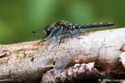 Kleine Moosjungfer Weibchen