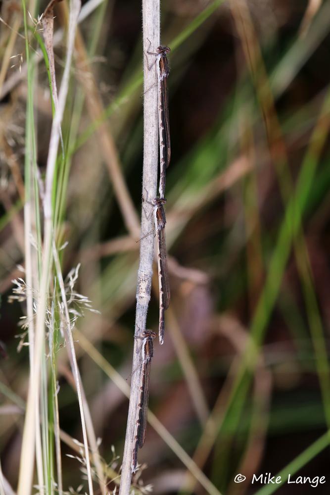 Gemeine Winterlibelle 2 Weibchen 1 Männchen