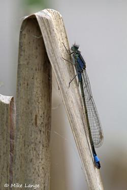 Große Pechlibelle Weibchen