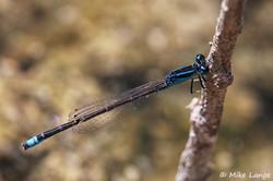 Kleine Pechlibelle Männchen