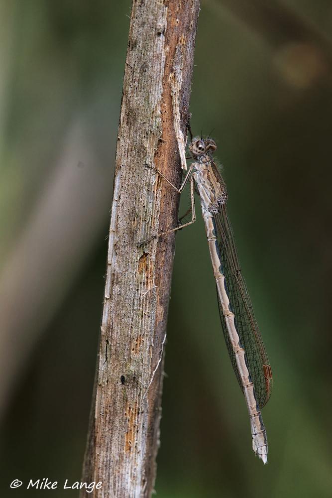 Sibirische Winterlibelle Weibchen