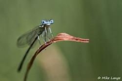 Blaue Federlibelle Männchen