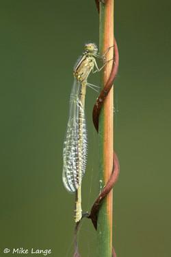 Gemeine Becherjungfer Weibchen