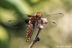 Plattbauch Weibchen