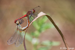 Blutrote Heidelibelle Paarung