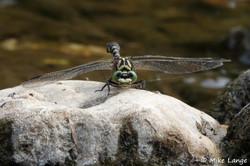 Kleine Zangenlibelle Männchen