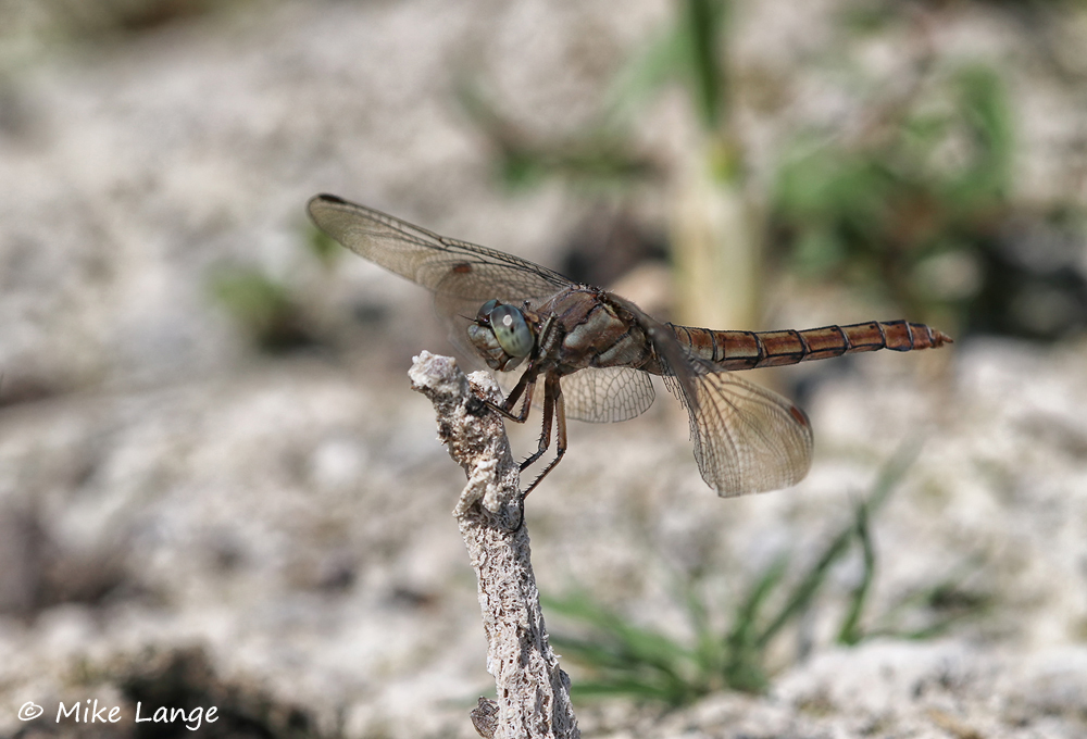 Südlicher Blaupfeil Weibchen