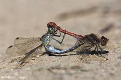 Große Heidelibelle Paarung