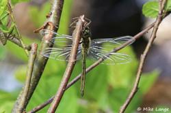 Glänzende Smaragdlibelle Männchen