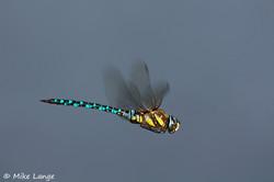 Herbst Mosaikjungfer Männchen