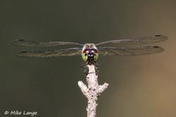 Schwarze Heidelibelle Männchen