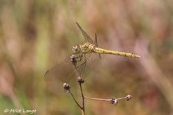Südliche Heidelibelle Weibchen