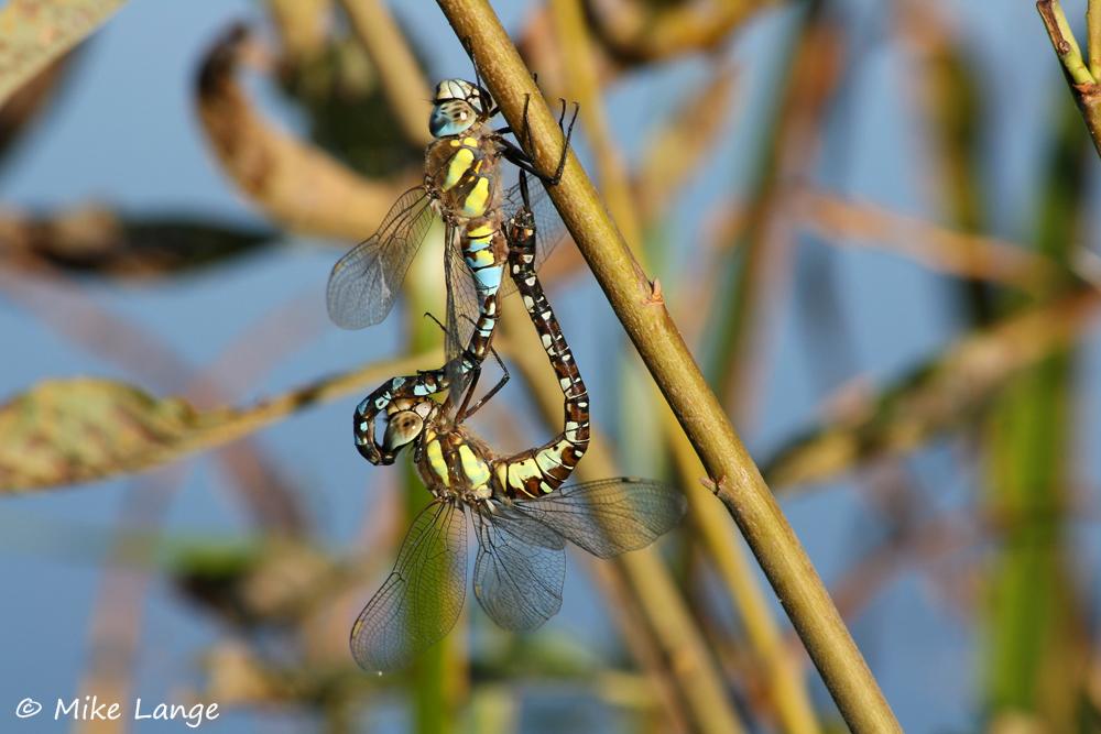 Herbst Mosaikjungfer Paarung