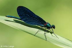 Blauflügel Prachtlibelle Männchen