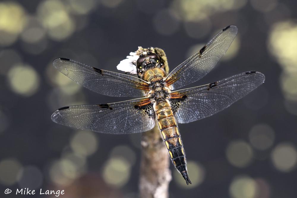 Vierfleck Männchen