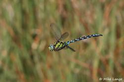 Libellen Blaugrüne Mosaikjungfer 4.9.2021