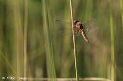 Feuerlibelle Weibchen