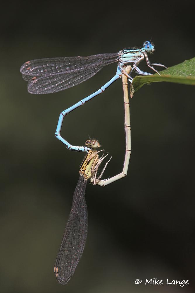 Blaue Federlibelle Paarung