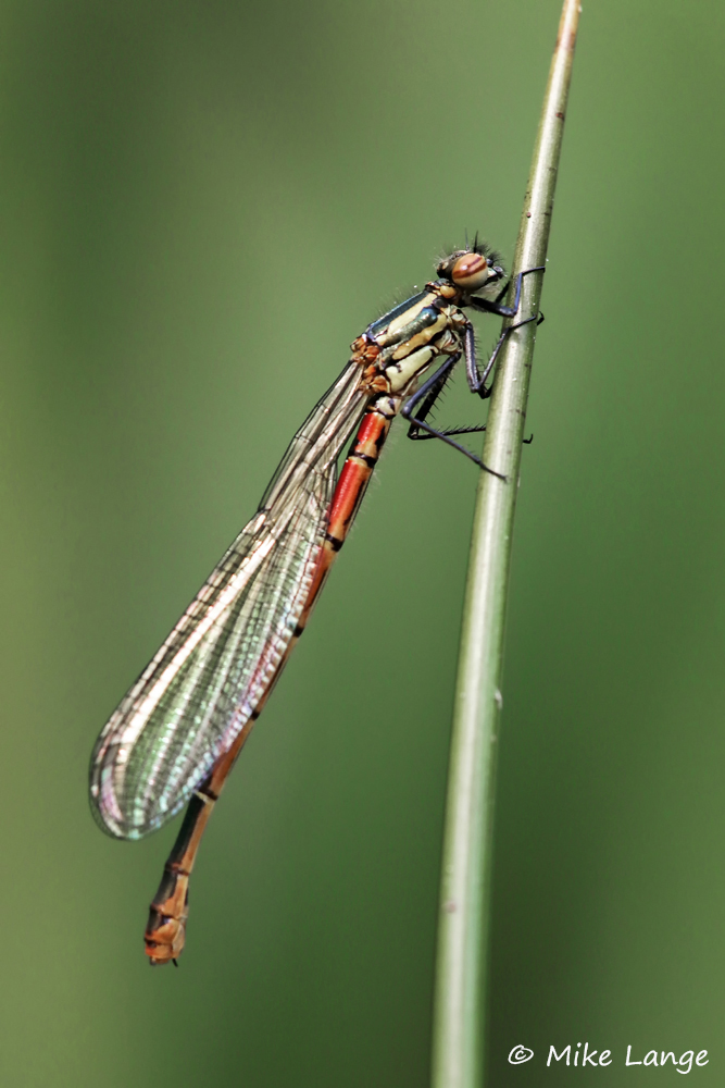 Frühe Adonislibelle Weibchen
