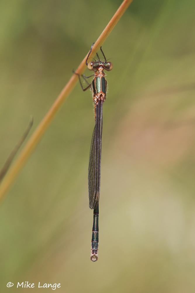 Gemeine Binsenjungfer Männchen
