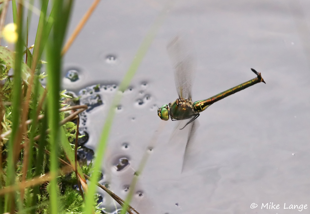 Glänzende Smaragdlibelle Eiablage
