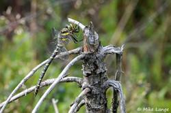Zweigestreifte Quelljungfer Weibchen