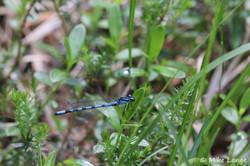 Sibirische (Bileks) Azurjungfer Männchen