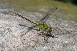 Grüne Flussjungfer Weibchen