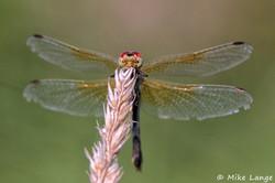 Gefleckte Heidelibelle Weibchen