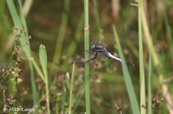 Östlicher Blaupfeil Männchen