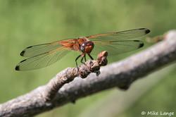 Spitzenfleck Weibchen