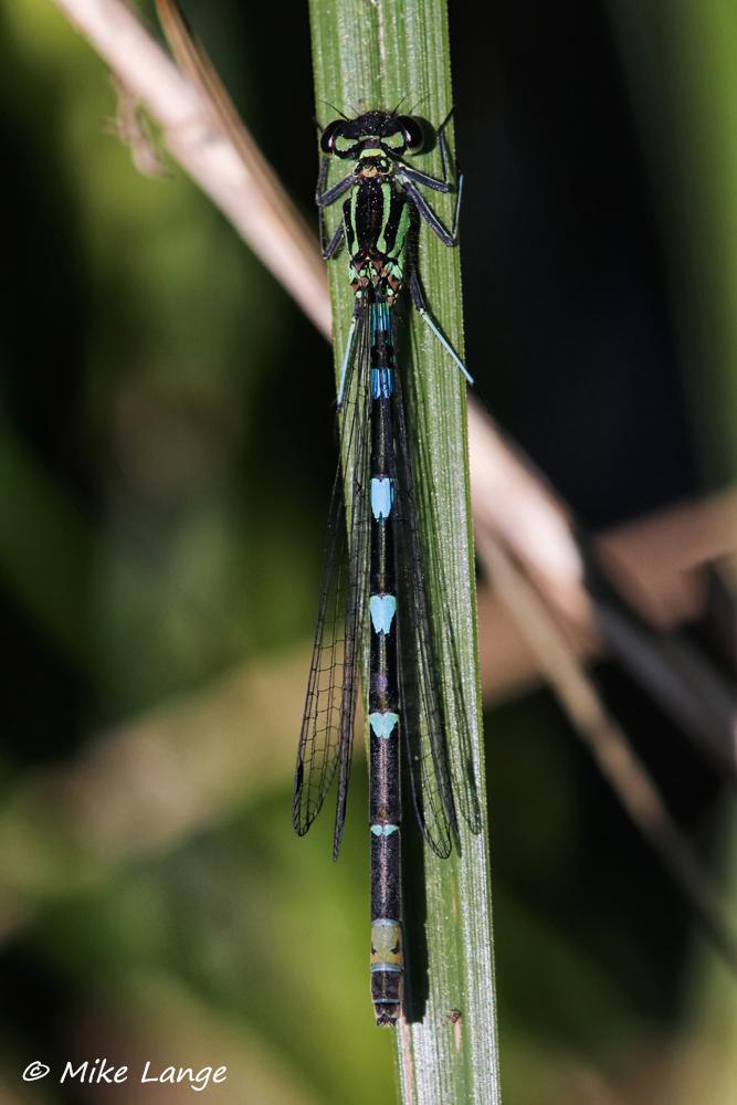 Fledermaus Azurjungfer Weibchen