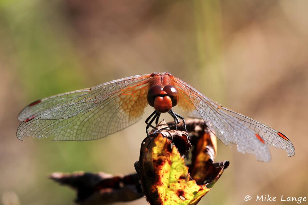 Gefleckte Heidelibelle Männchen