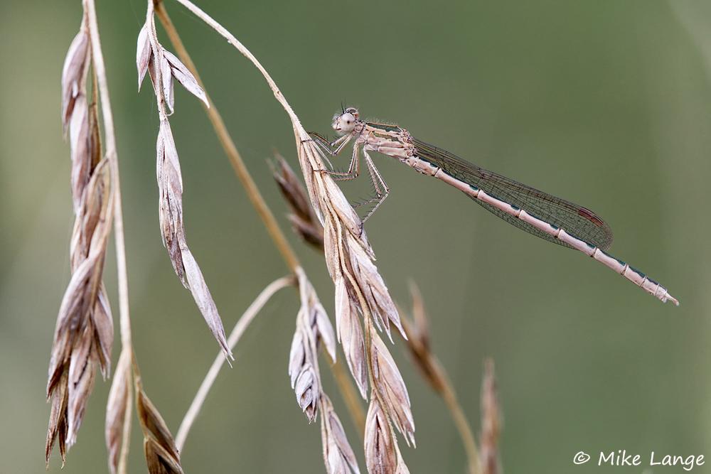 Sibirische Winterlibelle Männchen