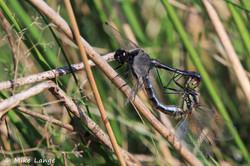 Schwarze Heidelibelle Paarung