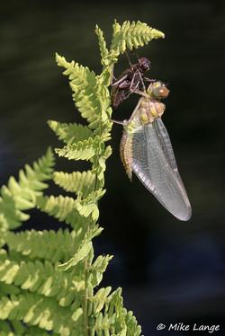 Gefleckte Smaragdlibelle Schlupf