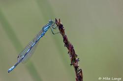Speer Azurjungfer Männchen