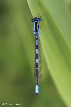 Gabel Azurjungfer Männchen